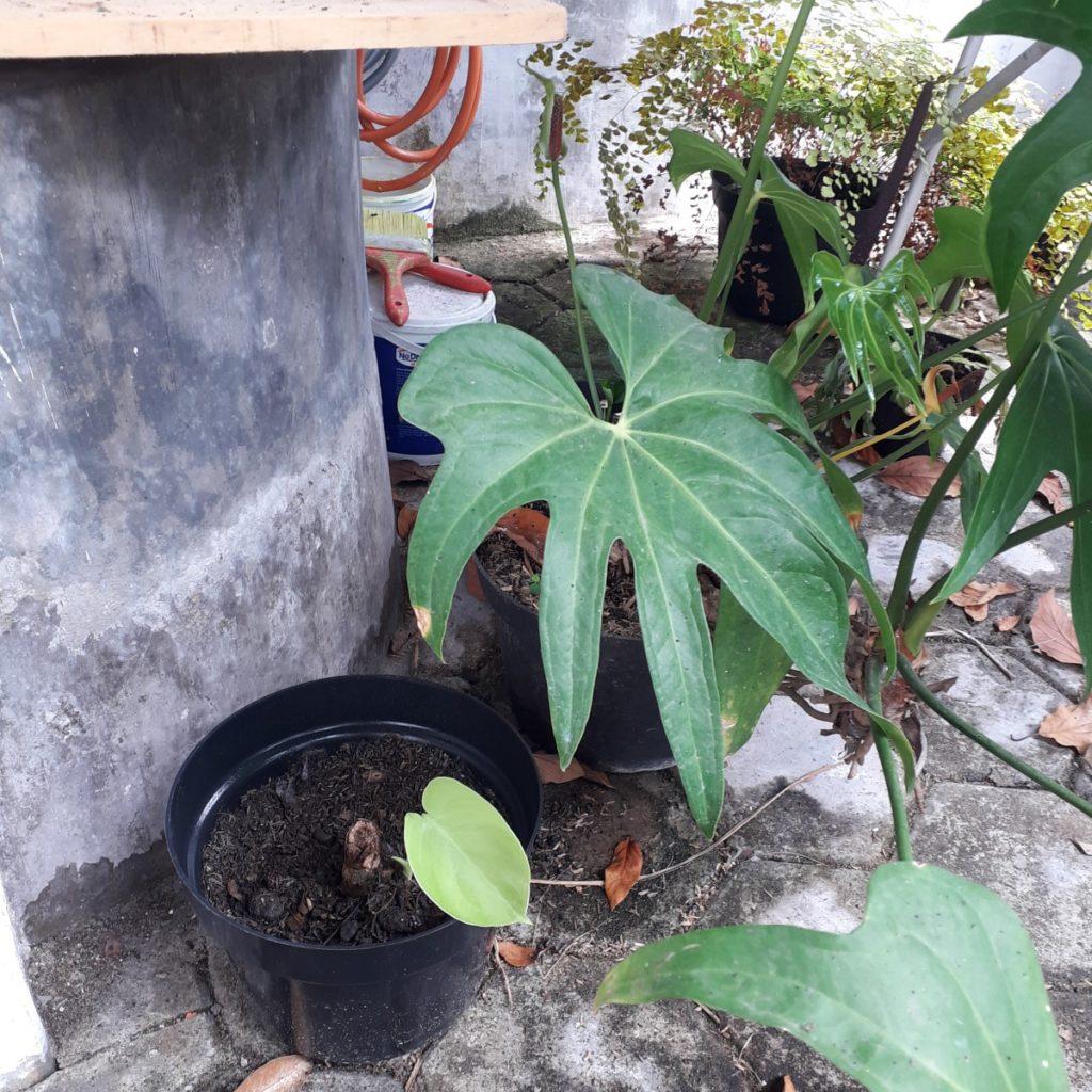Neben einem runden Brunnen aus Beton (der links ins Bild ragt) stehen mehrere Pflanzen, die in schwarzen Kunststofftöpfen wachsen. Im Vordergrund steht ein Topf mit einer Monstera, die nur ein einziges blassgrünes, herzförmiges Blatt besitzt. Rechts neben ihr wächst ein üppiger Baum-Philodendron. Im Hintergrund sind weitere Pflanzen und ein oranger Gartenschlauch zu sehen.